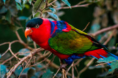 Retrato do único papagaio Tricolor de A, Lory de Lorius Foto de Stock