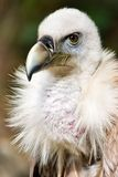 Retrato do abutre de Griffon Fotografia de Stock Royalty Free