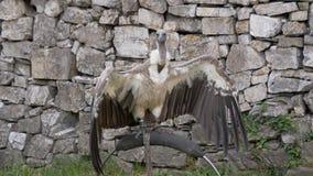 Retrato do abutre de Griffon filme