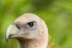 Retrato do abutre de Griffon imagem de stock