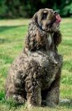 Retrato do americano agradável cocker spaniel Imagem de Stock Royalty Free