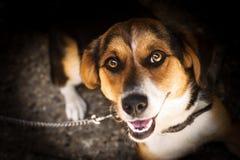 Retrato do animal do cão Fotografia de Stock Royalty Free