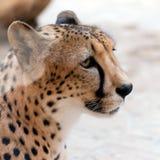 Retrato do animal o mais rápido no planeta - chita Foto de Stock Royalty Free