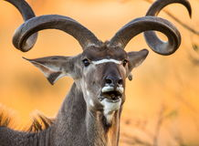 Retrato do antílope com chifres bonitos Close-up botswana Delta de Okavango foto de stock royalty free