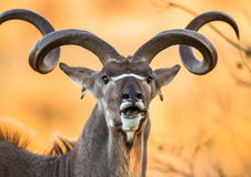 Retrato do antílope com chifres bonitos Close-up botswana Delta de Okavango fotografia de stock royalty free
