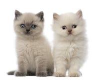 Retrato do assento britânico do gatinho de Shorthair Imagens de Stock