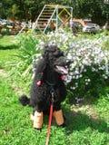 Retrato do assento do cão de caniche Imagens de Stock