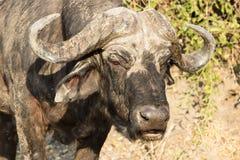 Retrato do búfalo Fotografia de Stock