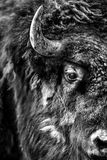 Retrato do búfalo Foto de Stock