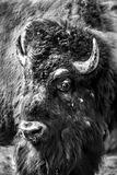 Retrato do búfalo Imagem de Stock Royalty Free