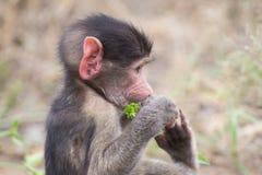 Retrato do babuíno do bebê que olha close-up muito confuso Fotos de Stock Royalty Free