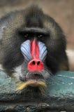 Retrato do babuíno Fotos de Stock