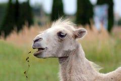 Retrato do bactrianus novo do Camelus do camelo bactriano Foto de Stock Royalty Free