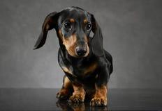 Retrato do bassê do cachorrinho do cabelo curto no fundo cinzento fotografia de stock royalty free