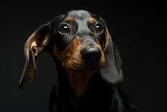 Retrato do bassê do cachorrinho em um estúdio escuro Imagens de Stock
