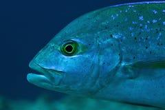 Retrato do blue-fin trevally, Maldives Foto de Stock Royalty Free