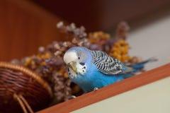 Retrato do budgerigar Fotos de Stock