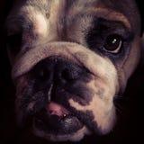 Retrato do buldogue fotografia de stock royalty free