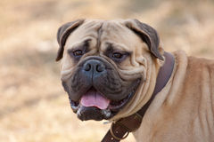 Retrato do bullmastiff fotografia de stock royalty free