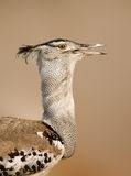 Retrato do bustard de Kori Foto de Stock Royalty Free