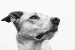 Retrato 24 do cão fotografia de stock