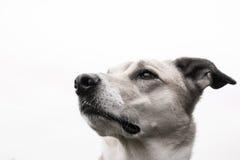 Retrato 23 do cão fotografia de stock royalty free