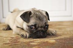 Retrato do cão Foto de Stock