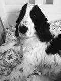 Retrato do cão Imagens de Stock Royalty Free