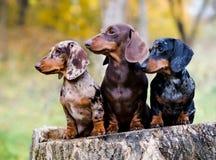 Retrato do cão do bassê sobre no fundo do outono imagem de stock royalty free