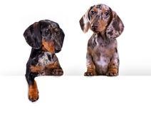 Retrato do cão do bassê sobre o fundo branco Imagens de Stock Royalty Free