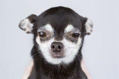 Retrato do cão bonito da chihuahua isolado no fundo cinzento imagens de stock