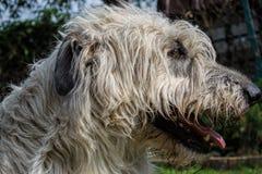 Retrato do cão branco bonito do cão caçador de lobos irlandês que levanta no jardim Feche acima do cão feliz Foto de Stock Royalty Free