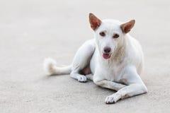 Retrato do cão branco que encontra-se no fundo Foto de Stock Royalty Free