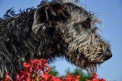 Retrato do cão cinzento bonito do cão caçador de lobos irlandês que levanta no jardim Feche acima do cão cinzento e preto feliz Fotos de Stock Royalty Free