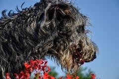 Retrato do cão cinzento bonito do cão caçador de lobos irlandês que levanta no jardim Feche acima do cão cinzento e preto feliz Foto de Stock Royalty Free