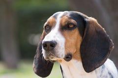 Retrato do cão da caça Fotos de Stock Royalty Free