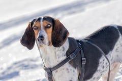 Retrato do cão da caça contra a neve Foto de Stock Royalty Free