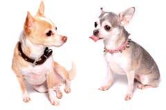 Retrato do cão da chihuahua foto de stock royalty free