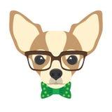 Retrato do cão da chihuahua com vidros e laço no styl liso Imagens de Stock Royalty Free