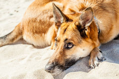 Retrato do cão da família Imagens de Stock