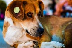 Retrato do cão da rua Imagens de Stock Royalty Free
