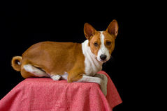 Retrato do cão de Basenji Fotografia de Stock