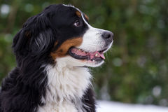Retrato do cão de Bernese Fotos de Stock