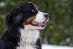Retrato do cão de Bernese Fotos de Stock