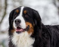 Retrato do cão de Bernese Imagem de Stock Royalty Free