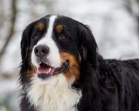 Retrato do cão de Bernese Imagem de Stock Royalty Free