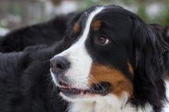 Retrato do cão de Bernese Fotos de Stock Royalty Free