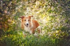 Retrato do cão de border collie na mola Fotografia de Stock Royalty Free