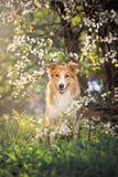 Retrato do cão de border collie na mola Imagens de Stock