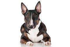 Retrato do cão de bull terrier do inglês isolado fotografia de stock